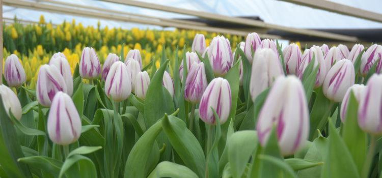 Горожанка вырастила за зиму 35 тысяч тюльпанов