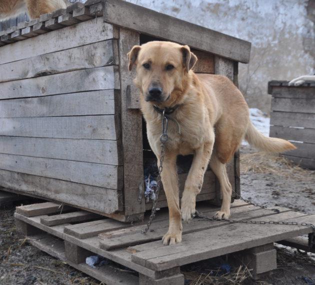 В Кудымкаре трехлапый пес Рыжий Мишка ищет хозяев
