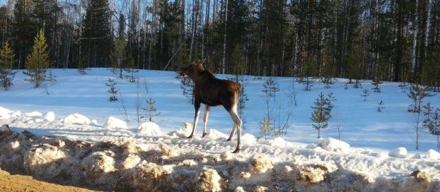 В Коми округе разыскивают браконьеров, которые издевались над лосихой
