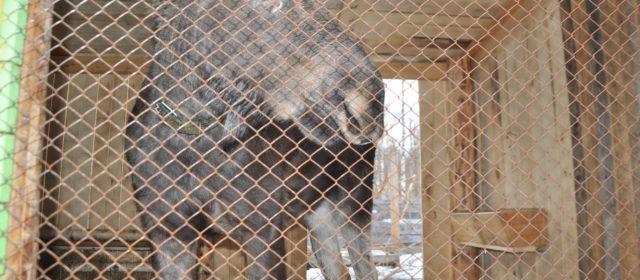 Посвятить остаток жизни лосям намерен житель Юрлинского района
